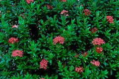 Bush of red ixoras Royalty Free Stock Photography