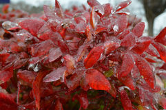 Bush with red leaves covered in ice Stock Images