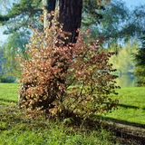 A bush with red leaves near the pine in sunny autumn day Stock Photography