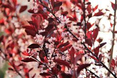 Bush with red leaves and pink flowers stock images