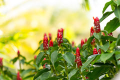 Bush of Red Malay Ginger Royalty Free Stock Photography