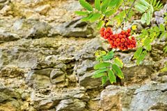 Bush of a red mountain ash on the stone rock Stock Photo