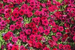 Bush red petunias Stock Photos