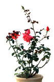 Bush of a red rose. The bush of a red rose growing in a clay pot Royalty Free Stock Photos