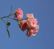 Bush of red roses. Clear blue sky closeup Royalty Free Stock Photos