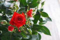 Bush of red roses Stock Images