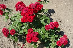 Bush of red roses in full bloom. In June royalty free stock images