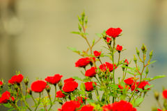 Bush of red roses in garden outdoor Stock Photography