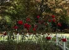 Bush of red roses in a park royalty free stock photography