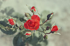 Bush of red roses planted on the ground. Vintage style effect Stock Photography