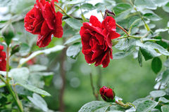 Bush of red roses Royalty Free Stock Images