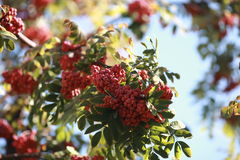 Bush of red rowan. Bunches of red mountain ash on a background of blue sky stock images