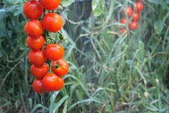 Bush of red tomatoes under rain jets, hanging on a branch in garden or on field among green vegetation royalty free stock image