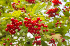 Bush of red viburnum berries. In the bush ripe berries of red viburnum Stock Photos