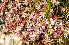 Bush of red and white mountain flowers, Zlot mountain Stock Image
