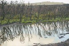 Bush regeneration after bushfire stock photography