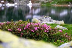 Bush of Rhododendron myrtifolium Rhododendron kotschyi / Rhododendron ferrugineum on the shore of Lake Bucura, Retezat mountains. Part of Carpathians, with calm royalty free stock photos