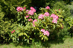 Bush a rhododendron with pink flowers Rhododendron L.. Spring Royalty Free Stock Images