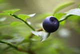 Bush of a ripe bilberry Royalty Free Stock Photos
