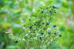 Bush of a ripe bilberry. Bush berries high in the mountains stock images