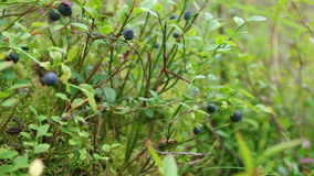 Bush of a ripe bilberry. In the summer close up stock video