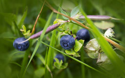 Bush of a ripe bilberry. In the summer closeup Royalty Free Stock Images