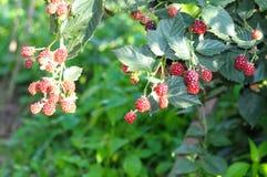 The bush ripe blackberries in the garden Royalty Free Stock Photo