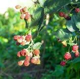 The bush ripe blackberries in the garden Stock Photography