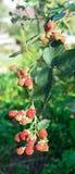 The bush ripe blackberries in the garden Royalty Free Stock Images
