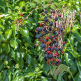 The bush ripe blue-red blackberry on a background of green leaves. Orchard stock photography