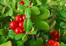 Bush of ripe cowberries. A few red berries closeup stock image