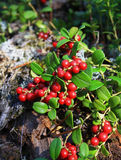 Bush of a ripe cowberry in forest. In autumn Stock Images
