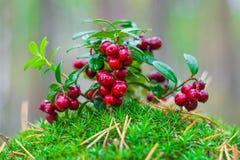 Bush ripe forest berries cranberries.Vaccinium vitis-idea.Macro.Close up. royalty free stock photo