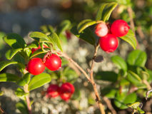 Bush of ripe lingonberry Royalty Free Stock Images