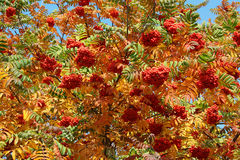 Bush of a ripe mountain ash in the autumn. Day Royalty Free Stock Photos