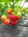 Bush of ripe red strawberry clusters with green leaves and berries stock images