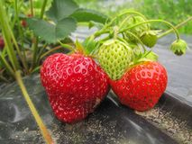 Bush of ripe red strawberry clusters with green leaves and berries royalty free stock photography