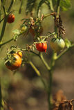 The bush ripe red tomatoes Royalty Free Stock Photography