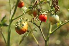 The bush ripe red tomatoes Royalty Free Stock Photos