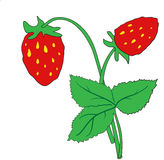 The bush of ripe strawberries Stock Photo