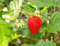 Bush of ripe strawberries Stock Photography