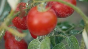 Bush with ripe tomatoes. Close-up stock footage