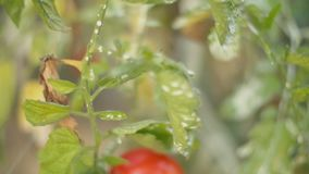 Bush with ripe tomatoes. Close-up stock video footage