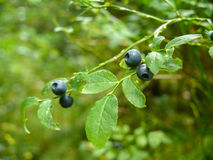 Bush of a ripe wild bilberry, blueberry in the summer closeup. Royalty Free Stock Image
