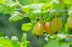 A bush of ripe yellow-green berries of gooseberry with a magnificent taste Stock Photos