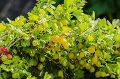 A bush of ripe yellow-green berries of gooseberry with a magnificent taste Royalty Free Stock Images