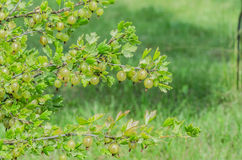 A bush of ripe yellow-green berries of gooseberry with a magnificent taste Stock Photo