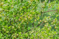 A bush of ripe yellow-green berries of gooseberry with a magnificent taste Stock Image