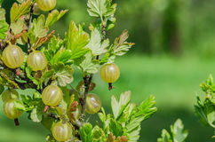A bush of ripe yellow-green berries of gooseberry with a magnificent taste Royalty Free Stock Photos