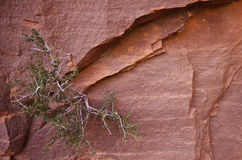 Bush on the rock. Wild bush on the red rock in zion national park Stock Image